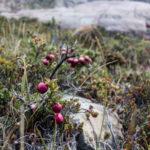 Die Früchte Patagoniens