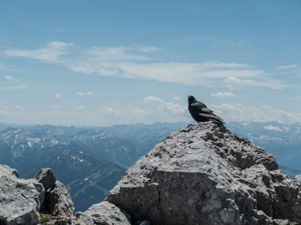 Bergdohlen am Gipfel des Dachstein.